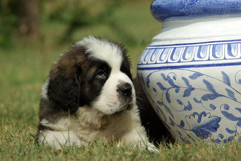 allevamento cane sanbernardo