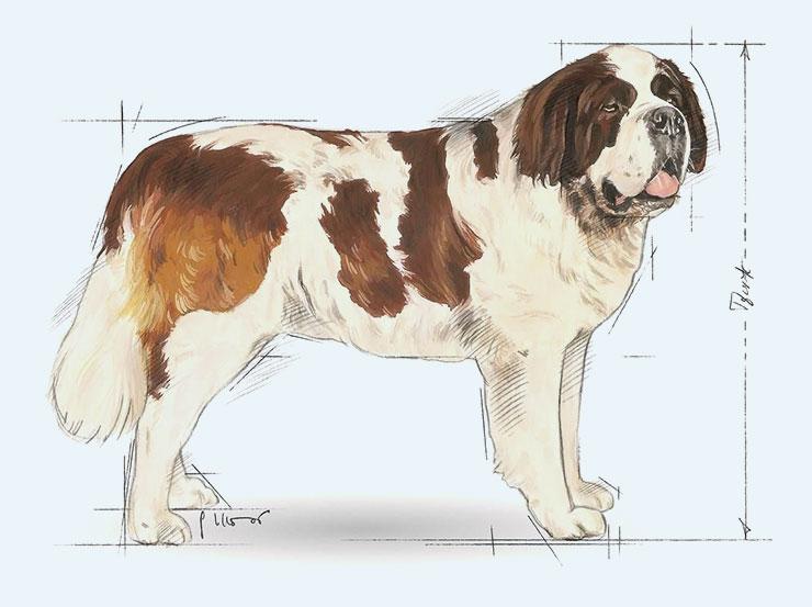 royal canin san bernardo